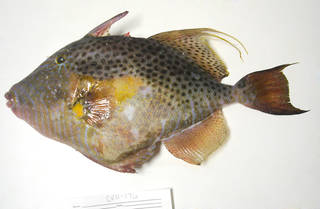 To NMNH Extant Collection (Balistes punctatus USNM 405176 photograph lateral view)