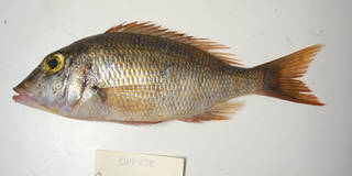 To NMNH Extant Collection (Lethrinus atlanticus USNM 405178 photograph lateral view)