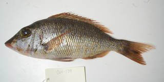 To NMNH Extant Collection (Lethrinus atlanticus USNM 405179 photograph lateral view)
