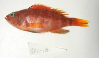 To NMNH Extant Collection (Serranus sanctaehelenae (cf.) USNM 405181 photograph lateral view)