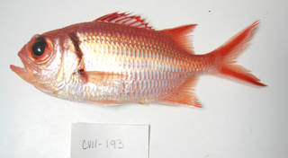 To NMNH Extant Collection (Myripristis jacobus USNM 405193 photograph lateral view)