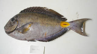 To NMNH Extant Collection (Acanthurus monroviae USNM 405198 photograph lateral view)