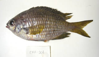 To NMNH Extant Collection (Chromis lubbocki USNM 405201 photograph lateral view)