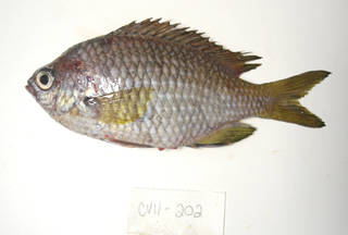 To NMNH Extant Collection (Chromis lubbocki USNM 405202 photograph lateral view)