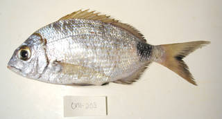 To NMNH Extant Collection (Diplodus prayensis USNM 405203 photograph lateral view)