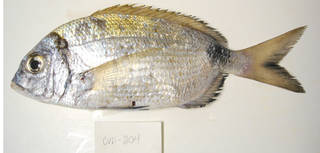 To NMNH Extant Collection (Diplodus prayensis USNM 405204 photograph lateral view)