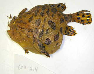 To NMNH Extant Collection (Antennarius striatus USNM 405214 photograph lateral view)