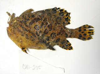 To NMNH Extant Collection (Antennarius striatus USNM 405215 photograph lateral view)