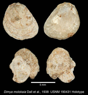 To NMNH Extant Collection (IZ MOL 190431 Holotype Bivalve)