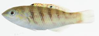 To NMNH Extant Collection (Thalassoma hardwicke USNM 402987 photograph lateral view)