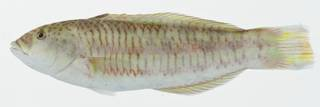 To NMNH Extant Collection (Thalassoma purpureum USNM 402991 photograph lateral view)