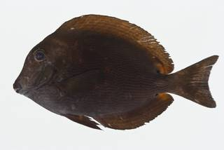 To NMNH Extant Collection (Acanthurus nigroris USNM 404672 photograph lateral view)