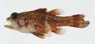 To NMNH Extant Collection (Apogonichthys perdix USNM 404723 photograph lateral view)