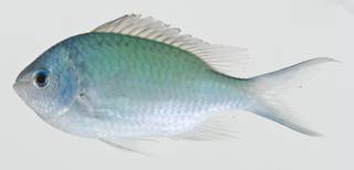 To NMNH Extant Collection (Chromis viridis USNM 404737 photograph lateral view)