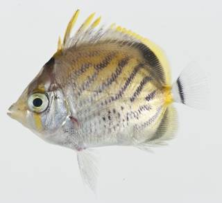 To NMNH Extant Collection (Chaetodon pelewensis USNM 404755 photograph lateral view)