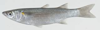 To NMNH Extant Collection (Neomyxus leuciscus USNM 404761 photograph lateral view)