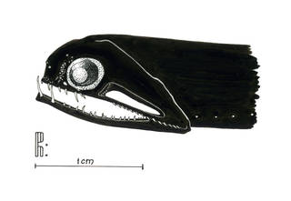 To NMNH Extant Collection (Photostomias P13018 illustration)