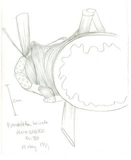 To NMNH Extant Collection (Rondeletia loricata P16464a illustration)