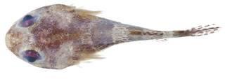 To NMNH Extant Collection (Acyrtus USNM 404021 photograph dorsal view)