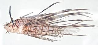 To NMNH Extant Collection (Pterois USNM 404039 photograph lateral view)