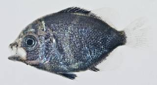 To NMNH Extant Collection (Pomacanthidae USNM 404213 photograph lateral view)