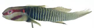 To NMNH Extant Collection (Elacatinus rubrigenis USNM 404130 photograph lateral view)