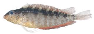 To NMNH Extant Collection (Malacoctenus macropus USNM 404241 photograph lateral view)