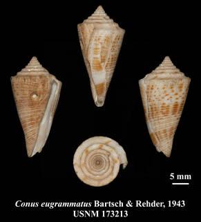 To NMNH Extant Collection (IZ MOL USNM 173213 Conus eugrammatus Bartsch & Rehder, 1943 plate)