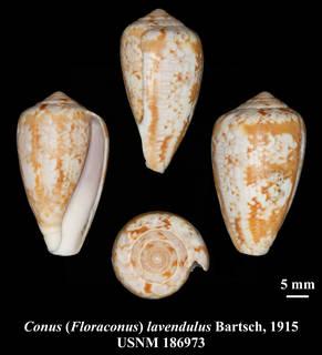 To NMNH Extant Collection (IZ MOL USNM 186973 Conus (Floraconus) lavendulus Bartsch, 1915 plate)