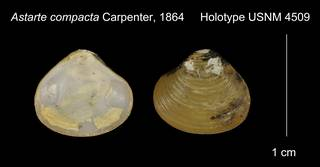 To NMNH Extant Collection (Astarte compacta Holotype USNM 4509)