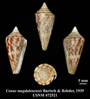 To NMNH Extant Collection (IZ MOL USNM 472521 Conus magdalensis Bartsch & Rehder, 1939 plate)
