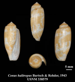To NMNH Extant Collection (IZ MOL USNM 338579 Conus halitropus Bartsch & Rehder, 1943 plate)