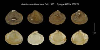 To NMNH Extant Collection (Astarte laurentiana soror Syntype USNM 109278)