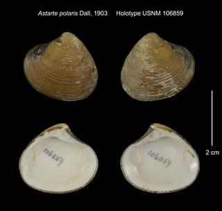 To NMNH Extant Collection (Astarte polaris Holotype USNM 106859)