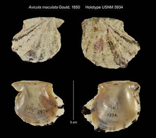 To NMNH Extant Collection (Avicula maculata Holotype USNM 5934)