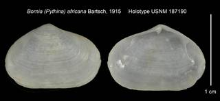 To NMNH Extant Collection (Bornia (Pythina) africana Holotype USNM 187190)