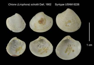 To NMNH Extant Collection (Chione (Lirophora) schottii Syntype USNM 6226)