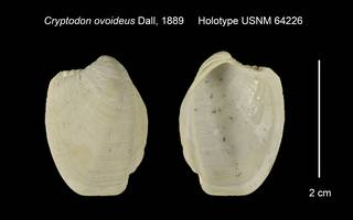 To NMNH Extant Collection (Cryptodon ovoideus Holotype USNM 64226)