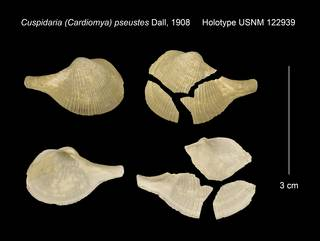 To NMNH Extant Collection (Cuspidaria (Cardiomya) pseustes Holotype USNM 122939)