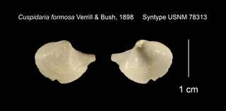 To NMNH Extant Collection (Cuspidaria formosa Syntype USNM 78313)