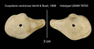 To NMNH Extant Collection (Cuspidaria ventricosa Holotype USNM 78783)