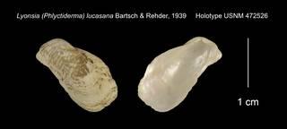 To NMNH Extant Collection (Lyonsia (Phlyctiderma) lucasana Holotype USNM 472526)