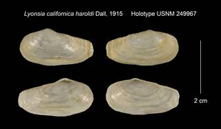 To NMNH Extant Collection (Lyonsia californica haroldi Holotype USNM 249967)