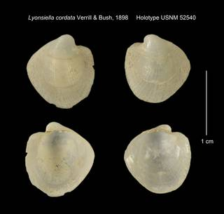 To NMNH Extant Collection (Lyonsiella cordata Holotype USNM 52540)