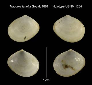 To NMNH Extant Collection (Macoma lunella Holotype USNM 1284)