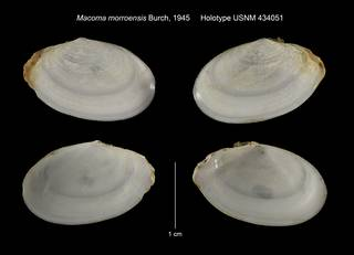 To NMNH Extant Collection (Macoma morroensis Holotype USNM 434051)