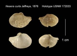 To NMNH Extant Collection (Neaera curta Holotype USNM 172033)