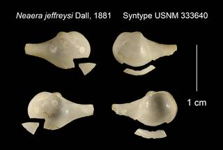 To NMNH Extant Collection (Neaera jeffreysi Syntype USNM 333640)