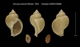 To NMNH Extant Collection (Oocorys bartschi Holotype USNM 535689)