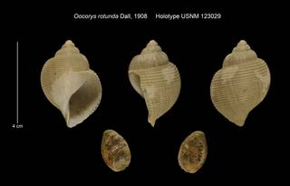 To NMNH Extant Collection (Oocorys rotunda Holotype USNM 123029)